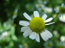 I colori luminosi di estate, l'immagine del campo leggero delle margherite fotografie stock libere da diritti