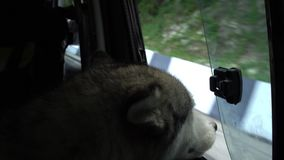 I colpi del cane dirigono fuori la finestra dell'automobile di viaggio video d archivio