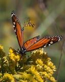 I colpi del monarca ostacolano via Immagini Stock