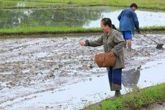 I coltivatori sono risaia della semina per coltura del riso Immagini Stock Libere da Diritti