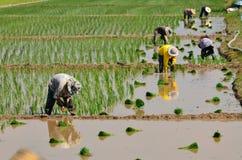 I coltivatori stanno piantando il riso nell'azienda agricola Fotografie Stock Libere da Diritti