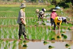 I coltivatori stanno piantando il riso nell'azienda agricola Fotografia Stock