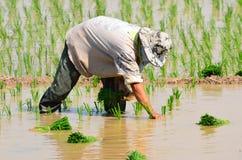 I coltivatori stanno piantando il riso nell'azienda agricola Immagine Stock