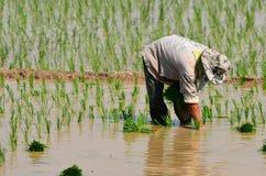 I coltivatori stanno piantando il riso nell'azienda agricola Immagini Stock Libere da Diritti