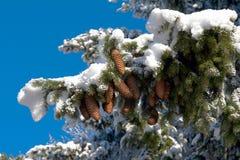 I coni di abete del Brown è su abete innevato Fotografia Stock