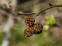 I coni maturi sul ramo anneriscono l'ontano o il primo piano di alnus glutinosa, il fuoco selettivo, DOF basso Fotografia Stock Libera da Diritti