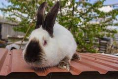 I conigli agricoli sono molto bei ed attirano la loro coloritura della lana Fotografie Stock Libere da Diritti