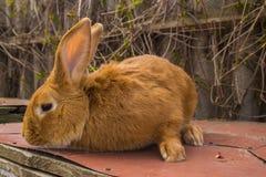 I conigli agricoli sono molto bei ed attirano la loro coloritura della lana Immagine Stock