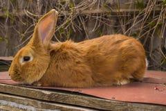 I conigli agricoli sono molto bei ed attirano la loro coloritura della lana Immagini Stock