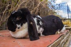 I conigli agricoli sono molto bei ed attirano la loro coloritura della lana Fotografia Stock