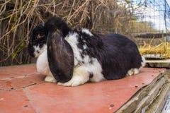 I conigli agricoli sono molto bei ed attirano la loro coloritura della lana Immagine Stock Libera da Diritti