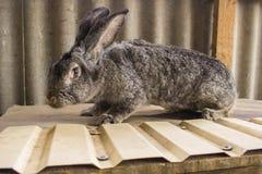 I conigli agricoli sono molto bei ed attirano la loro coloritura della lana Fotografie Stock