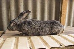 I conigli agricoli sono molto bei ed attirano la loro coloritura della lana Fotografia Stock Libera da Diritti