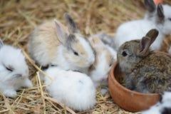 I conigli del bambino nella varietà colora marrone e bianco neri su fieno Immagine Stock