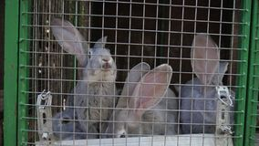 I conigli della razza della carne si siedono in una gabbia archivi video