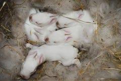 i conigli neonati sono nel nido Immagine Stock Libera da Diritti