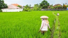 I contadini sul riso verde sistemano in Indonesia agricoltura Fotografia Stock Libera da Diritti