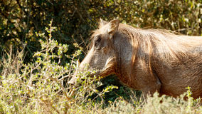 I am Cool - Phacochoerus africanus The common warthog. I am Cool - Phacochoerus africanus - The common warthog is a wild member of the pig family found in stock photography