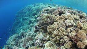 I coralli sani che crescono sul bordo di diminuiscono stock footage