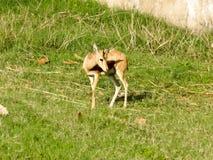 I corni bruniscono i cervi che stanno nello zoo immagini stock libere da diritti