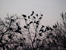 I corvi Fotografie Stock