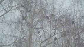 I corvi si siedono sui rami di una betulla video d archivio