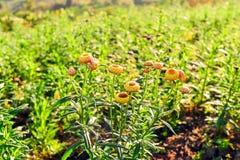 I crisantemi fioriranno Fotografie Stock