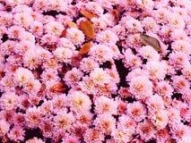 I crisantemi variopinti fiorisce il mazzo che cresce nel giardino Fotografia Stock