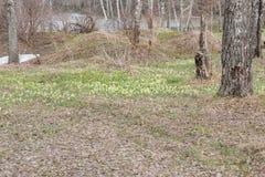 I croco sono stati allontanati Primi fiori della sorgente Glade degli snowdrops Fotografia Stock Libera da Diritti