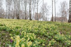 I croco sono stati allontanati Primi fiori della sorgente Glade degli snowdrops Immagini Stock