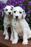 I cuccioli dalmata macchiati che si siedono sul banco davanti all'estate variopinta fiorisce Fotografia Stock Libera da Diritti