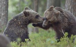 I cuccioli degli orsi bruni che combattono allegro Immagini Stock Libere da Diritti