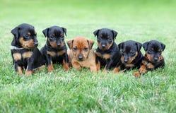 I cuccioli del Pinscher miniatura fotografia stock libera da diritti