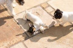 I cuccioli di cane di Jack Russell Terrier stanno giocando Cane vecchio 7,5 settimane immagini stock