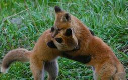I cuccioli di Fox giocano la lotta in un campo erboso in Jackson Hole, Wyoming immagini stock