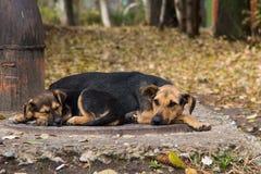I cuccioli senza tetto stanno dormendo su una botola della fogna Immagini Stock