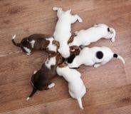 I cuccioli stanno mangiando Fotografia Stock Libera da Diritti