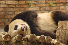 I am the cutest!. A cute young panda bear rolls on it's back and stares down the camera Stock Photography