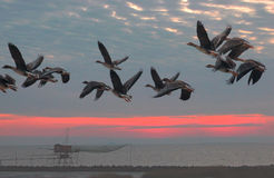 I cygnoides del Anser volano all'alba Fotografia Stock Libera da Diritti
