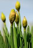 I Daffodils di Pasqua cominciano a fiorire in primavera Fotografia Stock