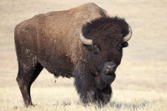 I dare you. I big bull buffalo standing his ground on the plains in south Dakota Royalty Free Stock Photography