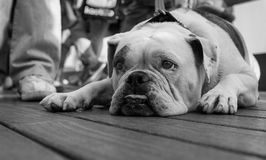 I am definitely bored... A bulldog with a very bored look Royalty Free Stock Images