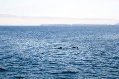 I delfini allegri si avvicinano alle isole di canali, la California Fotografie Stock