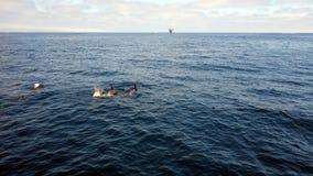I delfini si avvicinano alle isole del canale, la California immagine stock libera da diritti