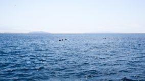 I delfini si avvicinano alle isole di canali, la California Immagine Stock Libera da Diritti