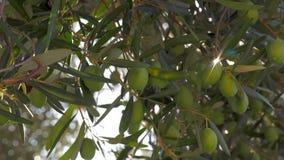 I den Mediaterranean trädgården Grön olivträd och solstråle arkivfilmer