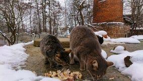 I den snöig säsongen äter hemlösa katter bitar av fisken royaltyfria bilder