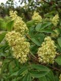 I den trädgårds- blomväxtfläderna Royaltyfria Bilder