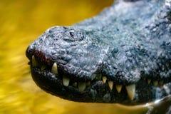 I denti del caimano dell'alligatore del coccodrillo si chiudono su Fotografie Stock