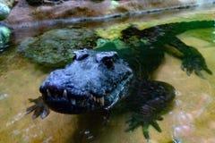 I denti del caimano dell'alligatore del coccodrillo si chiudono su Immagini Stock